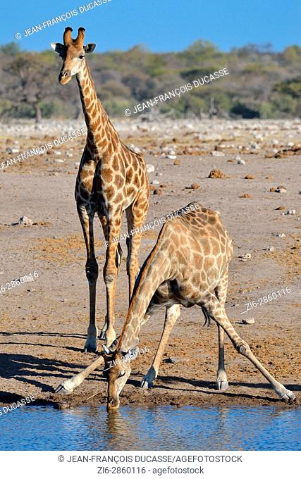 Namibian giraffes or Angolan giraffes (Giraffa camelopardalis), drinking at waterhole, Etosha National Park, Namibia, Africa