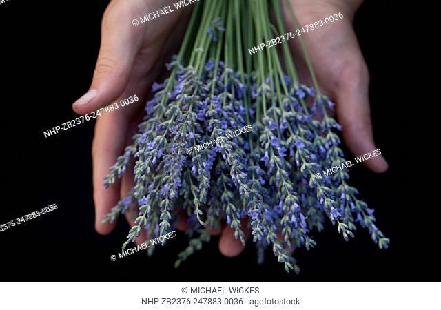 USA, ID, Hailey. Sun Valley, Ketchum Hailey Farmers Market. Local lavender. In hands of farmer. © Michael Wickes. No mr