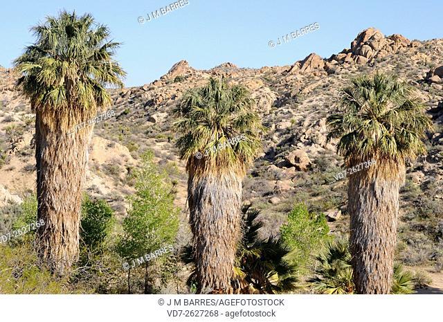 California fan palm or desert fan palm (Washingtonia filifera) is a palm native to southwestern USA and Baja California (Mexico)