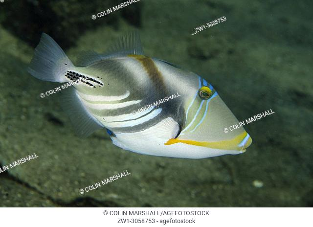 Picasso Triggerfish (Rhinecanthus aculeatus, Balistidae family), Jemeluk Bay Gallery dive site, Amed, east Bali, Indonesia