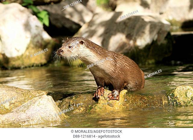 European Otter Lutra lutra order:carnivora family : mustelidae