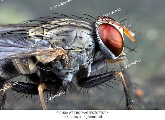 Fly. Image taken at Kampung Satau, Sarawak, Malaysia