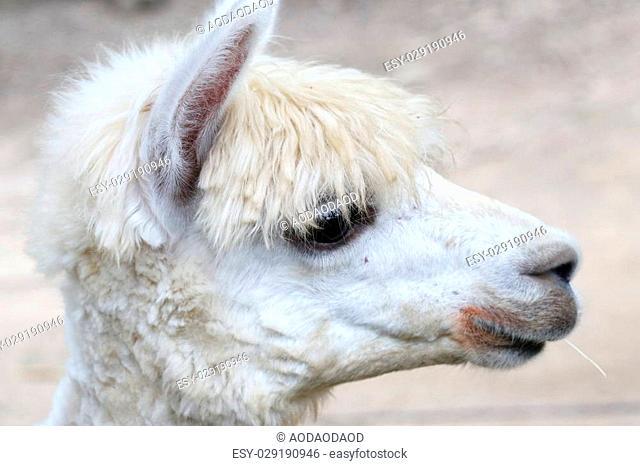 Alpaca, eye close up