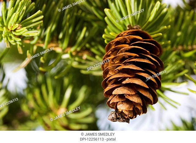 Close up of spruce tree cone and needles; Ontario, Canada