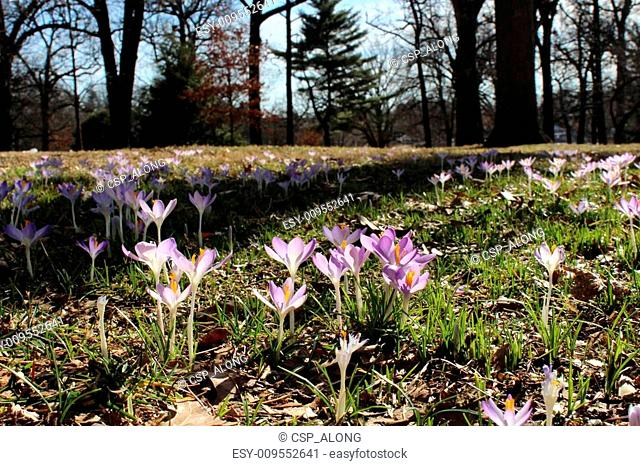 Lavender Crocus Flowers in Mansion lawn