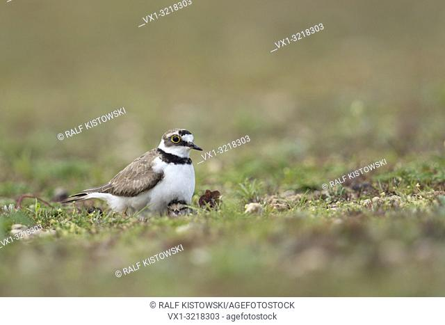 Ringed Plover / Flussregenpfeifer (Charadrius hiaticula) gathering chicks protectively under its plumage