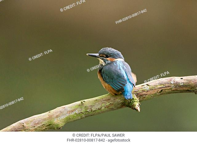 Common Kingfisher (Alcedo atthis) fledgling, perched on branch, Suffolk, England, May