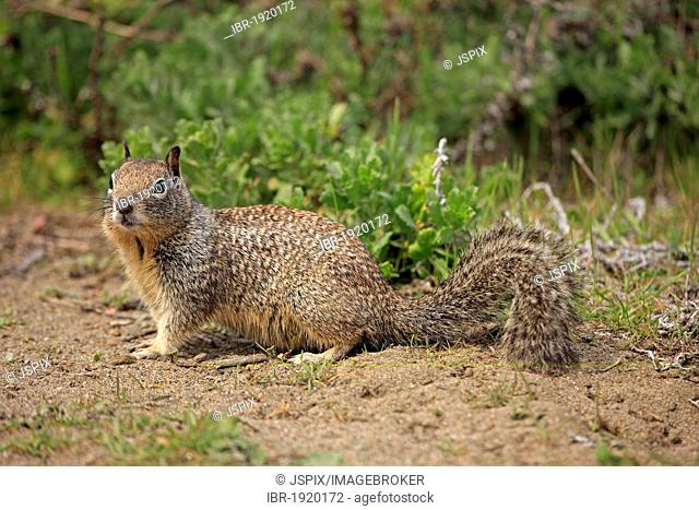California ground squirrel (Spermophilus beecheyi), adult, alert, Monterey, California, USA, America