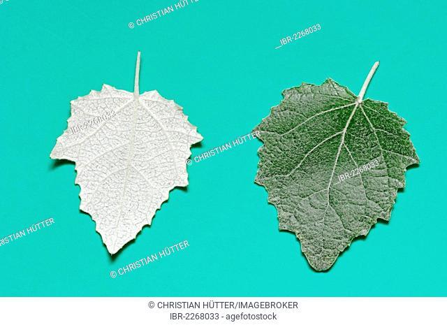 Silver poplar (Populus alba), leaves