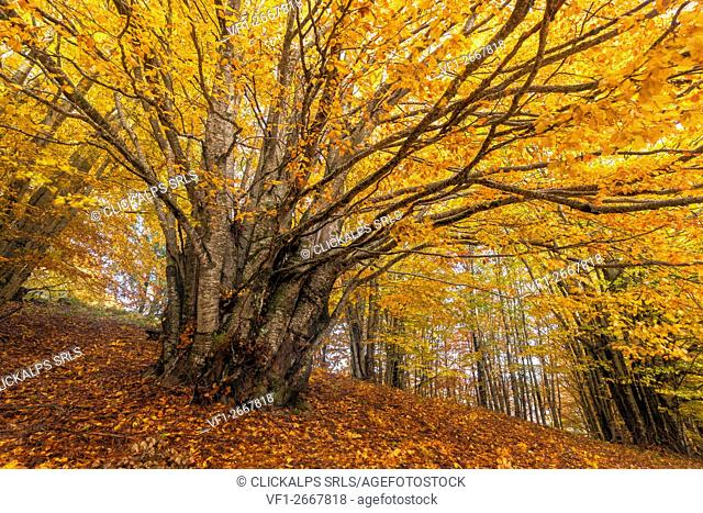 Sila National Park, Sila, Coturelle, Piccione, Catanzaro, Calabria, Italy. Beech in autumn dress