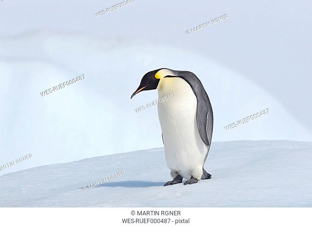Antarctica, Antarctic Peninsula, Emperor penguins standing on snow hill island