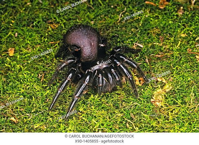 Venomous Sydney Funnel Web Spider