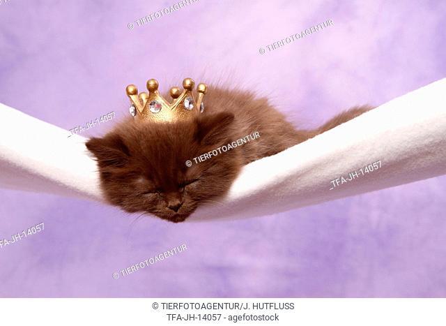 Highlander Kitten