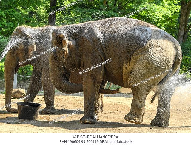04 June 2019, Brandenburg, Cottbus: In the zoo Cottbus, the two Asian elephants Sundali (l) and Karla splash with water. At temperatures of around 30 degrees...