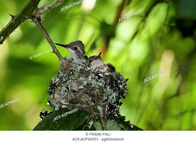 Baby rufous humming birds (Selasphorus rufus) in nest, Omak, Okanogan Highlands, Washington, United States of America