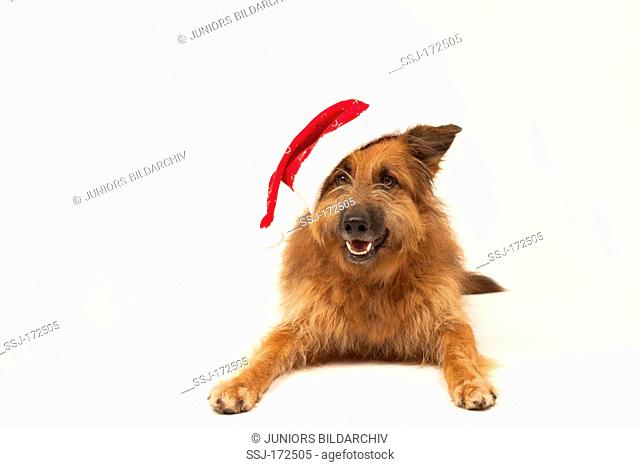 Mixed-breed dog. Male with Santa Claus hat lying. Studio picture against a white background