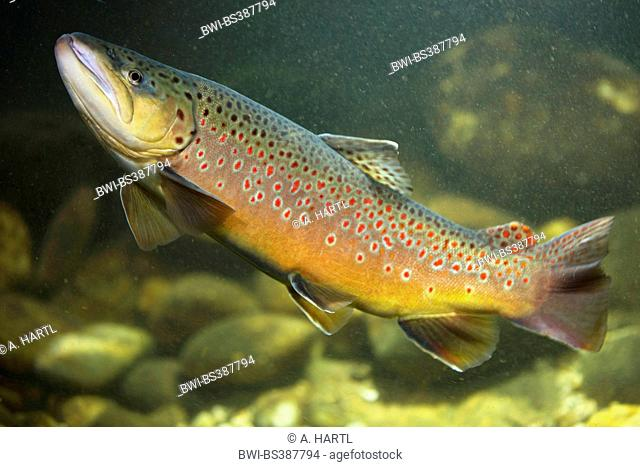brown trout, river trout, brook trout (Salmo trutta fario), male , Germany, Bavaria