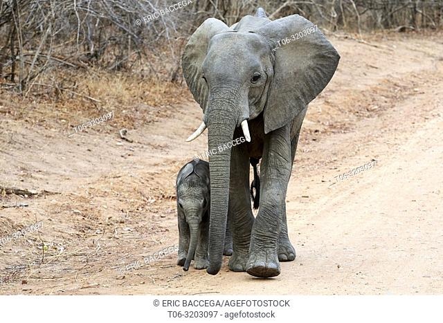 African elephant, very young calf walking alongside its mother (Loxodonta africana), South Luangwa National Park, Zambia