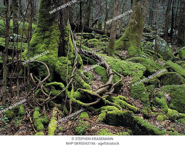 TEMPERATE DECIDUOUS FOREST Great Smoky Mountains National Park Tennessee, USA