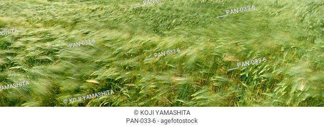 Grain Field in Wind, near Loreley, Germany