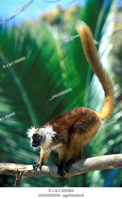 Black Lemur,Lemur macaco,Nosy Komba,Madagascar,Africa,adult female on tree
