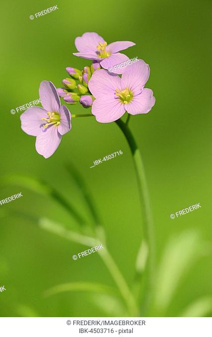 Cuckoo Flower (Cardamine pratensis), flowers, North Rhine-Westphalia, Germany