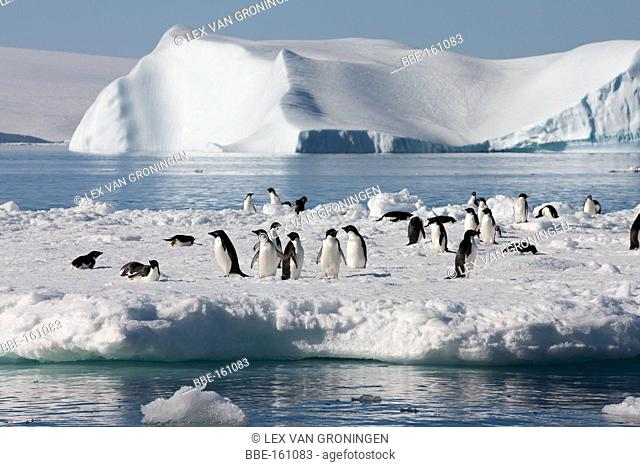 A group of Adelie Penguins (Pygoscelis adeliae) resting on an ice floe in the Weddell Sea, Antarctica