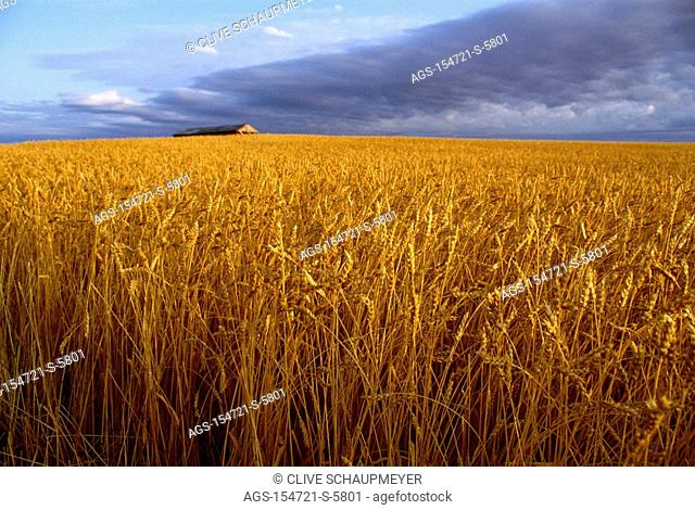 Agriculture - Rolling field of mature, harvest ready, wheat with a barn in the distance / Canada - AB, nr. Bassano