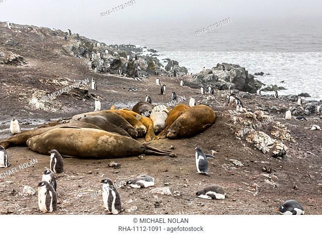 Southern elephant seals (Mirounga leonina), annual catastrophic molt, Hannah Point, Livingston Island, South Shetland Islands, Antarctica, Polar Regions