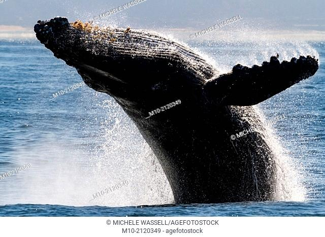 Humpback Whale breaches off the coast of Moss Landing, California, USA