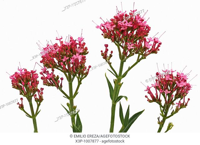 Milamores Centranthus ruber