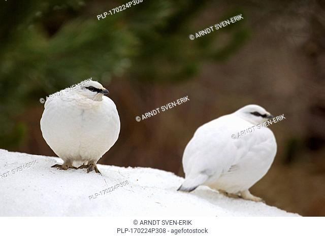 Two rock ptarmigans (Lagopus muta / Lagopus mutus) in winter plumage