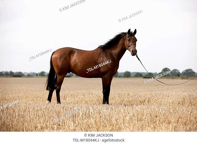 A dark bay Arabian horse standing in a stubble field