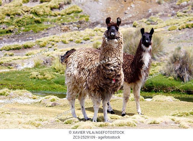 Lamas, National park of Sajama, Altiplano, Bolivia