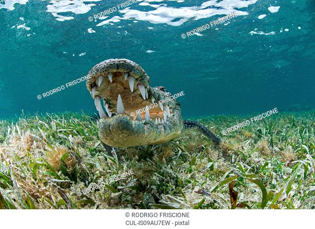 Underwater front view of crocodile on seagrass, open mouthed showing teeth, Chinchorro Atoll, Quintana Roo, Mexico