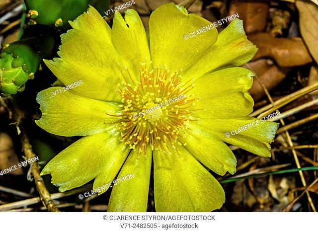 Prickly Pear Cactus (Opuntia humifusa) Flower