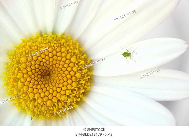 Close up of insect crawling on daisy