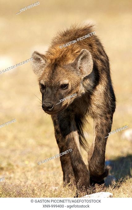 Spotted hyaena Crocuta crocuta, Etosha National Park, Namibia, Africa
