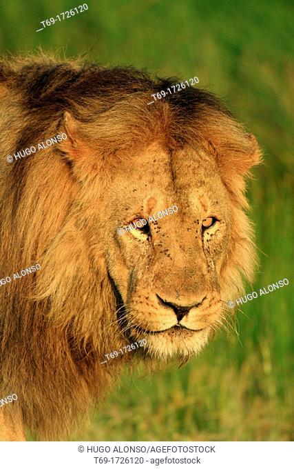 Big lion. Panthera leo