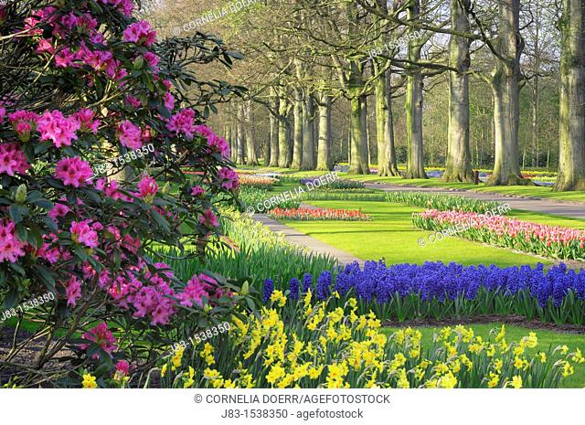 Tree lined path in formal garden with Springtime flowerbeds and Rhododendron, Keukenhof Gardens, Lisse, Holland, Netherlands