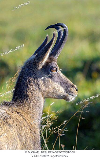 Chamois, Rupicapra rupicapra, Male, Hohneck, Vosges, Alsace, France, Europe