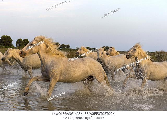 Camargue horses in evening light running through the water of a shallow lake in the Camargue in southern France