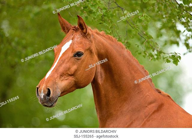 Hessian Warmblood horse - portrait