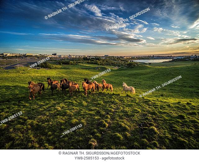 Icelandic horses grazing in open grasslands, image shot with a drone, Reykjavik, Iceland