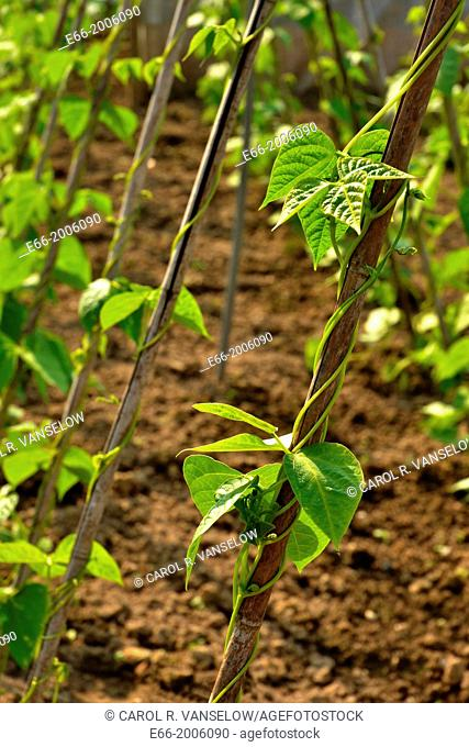 Close-up of rows of pole beans in a community garden in Heerlen, Limburg, the Netherlands