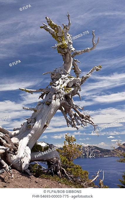 Whitebark Pine Pinus albicaulis ancient habit, growing on crater rim at 7000ft 2200m, Crater Lake, Crater Lake N P , Cascade Mountains, Oregon, U S A , july