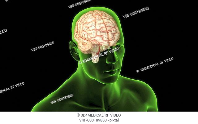 An animation depicting the location of the cerebellum. The camera zooms into the brain and a lateral view right side of the cerebellum highlighted is shown