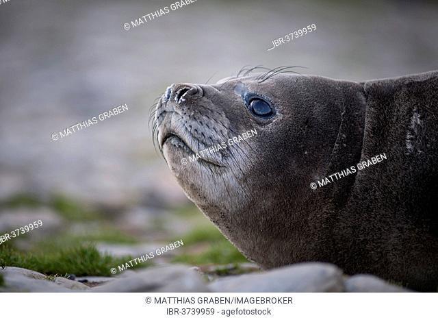 Southern Elephant Seal (Mirounga leonina), pup, Gold Harbour, South Georgia and the South Sandwich Islands, Antarctica