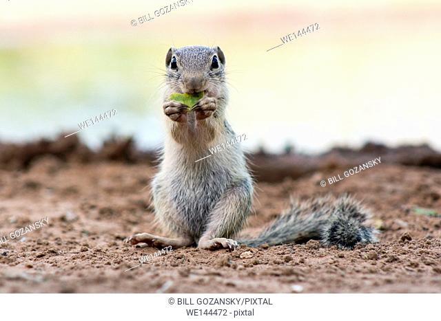 Mexican Ground Squirrel (Spermophilus mexicanus) - Santa Clara Ranch, McCook, Texas, USA