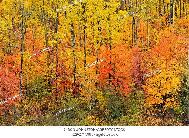 Autumn red maples in the understory of an aspen woodland. Greater Sudbury, Ontario, Canada